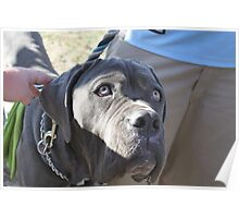 Neopolitan Mastiff with master Poster