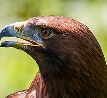 Golden eagle by cuttlefish714