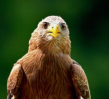 Yellow Billed Kite by imagetj