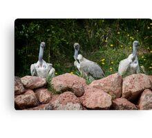 Cape Griffon Vultures Canvas Print
