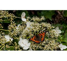 orange butterfly on white hortensia Photographic Print