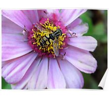 Hover Fly On Zinnia Poster