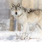 Stare - Timber Wolf by Yannik Hay
