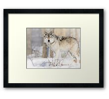 Stare - Timber Wolf Framed Print
