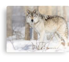 Stare - Timber Wolf Canvas Print