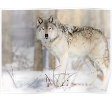 Stare - Timber Wolf Poster
