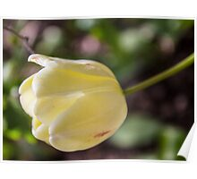 Pale Yellow Spring Tulip Poster