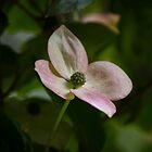 Kousa dogwood pink by KSKphotography