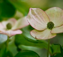 Kousa Dogwood pink 2  by KSKphotography