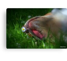 Gracie and the daisy  Canvas Print