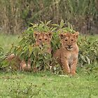 Two Masai Lion Cubs in the Rain by Yair Karelic