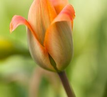 Tulip by Eunice Gibb