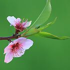 A Simple Peach Blossom by Chris Coates