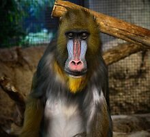 Mandrill by NVSphoto