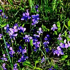 Common Blue Violets by Kathleen Daley