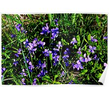 Common Blue Violets Poster
