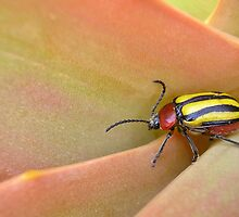 "Black and yellow striped leaf beetle says ""Aloe"" by Lee Jones"