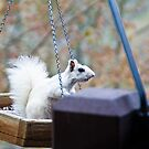 White Squirrel sitting in feeder by KSKphotography