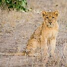 Young Lion Cub in Kruger National Park, South Africa by Robert Kelch, M.D.