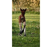Belgian Draft - Filly Photographic Print