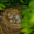 Junco nest in Boston Fern  by KSKphotography