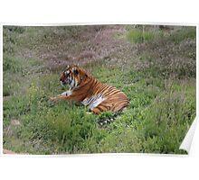 Tiger Rescue Poster
