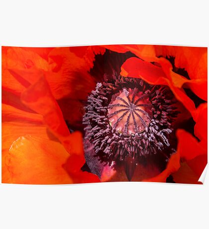 Oriental poppy closeup, Papaver orientale Poster