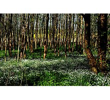 Flowers in the early spring forest Photographic Print
