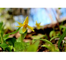 Trout Lily Photographic Print