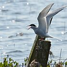A Funny Tern by Chris Monks