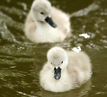 Cygnets by MendipBlue