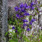 Blue Bonnets by DIANE  FIFIELD