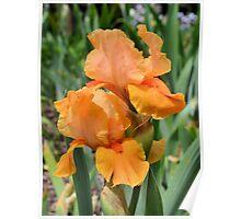 Orange Iris Poster