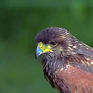 Harris Hawk  by larry flewers