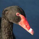 A Senior Black Swan - Portrait by stevealder