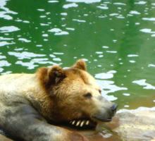 Bear is not Amused Sticker