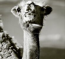 Camel. Gobi Desert, Mongolia by jennyjones