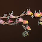 Echeveria flower in winter by Maree  Clarkson