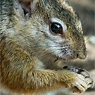 UP CLOSE - THE TREE SQUIRREL – Paraxerus cepapi  by Magriet Meintjes