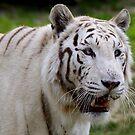 White Tiger by annalisa bianchetti