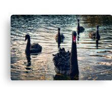 Black Swan and Cygnets Canvas Print