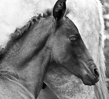Andalusian Colt 4 by Cynthia Swinnen