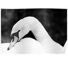 A black and white fine art photograph of a white mute swan Poster