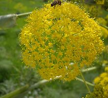 Giant Fennel & Bee by Francis Drake
