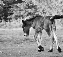 Belgian Draft Horse - Foal by Cynthia Swinnen