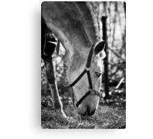 Andalusian Mare Canvas Print