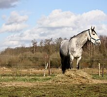 Andalusian Stallion 2 by Cynthia Swinnen