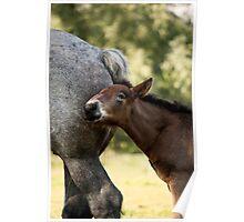 Belgian Draft Horse - Foal 4 Poster