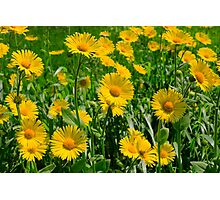 A field of bright beautiful yellow golden daisies or asters Photographic Print