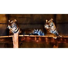 Lounging Tigers Photographic Print